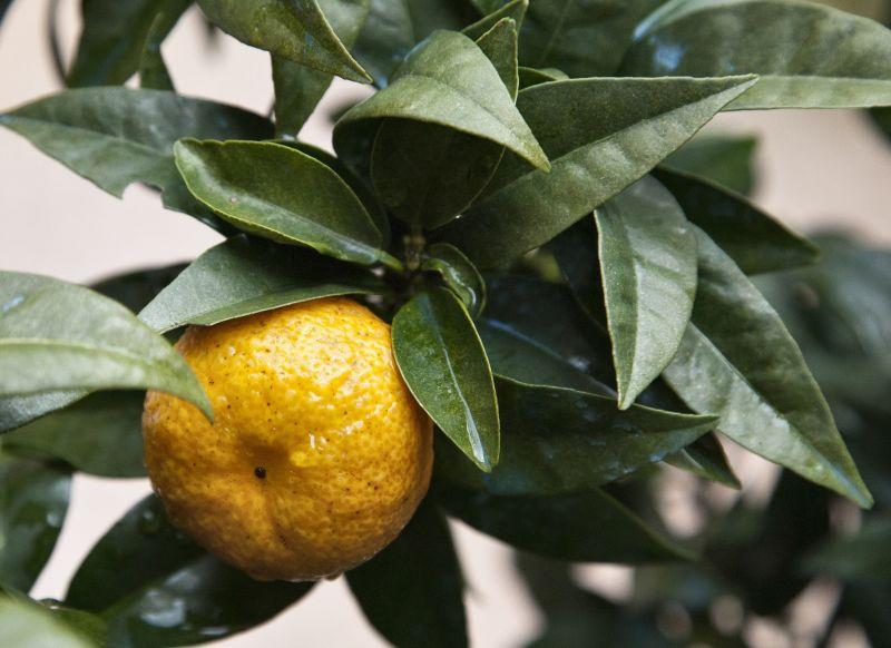 Chinotto un profumo che parla di savona cipria magazine for Mapo frutto