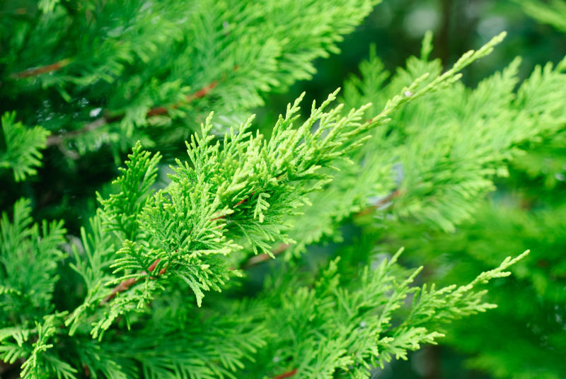 Cypress (Velvet Cypress)