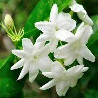 fiori di gelsomino Vivaio di Castelletto